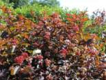 Fasanenspiere 'Diable d'Or' ®, 60-100 cm, Physocarpus opulifolius 'Diable d'Or' ®, Containerware