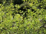 Faulbaum / Pulverholz, 60-100 cm, Rhamnus frangula, Wurzelware
