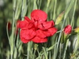 Feder-Nelke 'David', Dianthus plumarius 'David', Topfware