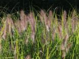 Federborstengras 'Cassian', Pennisetum alopecuroides 'Cassian', Topfware