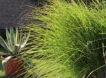 Federborstengras 'Japonicum', Pennisetum alopecuroides 'Japonicum', Topfware