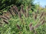 Federborstengras, Pennisetum alopecuroides var. viridescens, Topfware