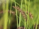 Federborstengras 'Tall Tails', Pennisetum orientale 'Tall Tails', Topfware