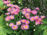 Feinstrahl 'Pink Jewel', Erigeron speciosus 'Pink Jewel', Topfware