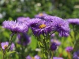Feinstrahl 'Schöne Blaue', Erigeron speciosus 'Schöne Blaue', Topfware