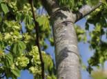 Feldulme, 80-120 cm, Ulmus carpinifolia, Wurzelware