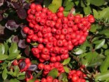 Pyracantha 'Red Cushion'
