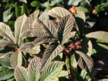 Rodgersia pinnata 'Chocolate Wings' ®