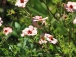 Fingerkraut 'Hopwoodiana', Potentilla x cultorum 'Hopwoodiana', Topfware