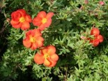 Potentilla 'Marian Red Robin' ®