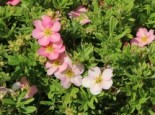 Potentilla fruticosa 'Pink Lady'
