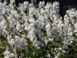 Flammenblume 'Delta', Phlox maculata 'Delta', Topfware