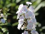 Flammenblume 'Omega', Phlox maculata 'Omega', Topfware