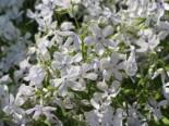 Flammenblume 'White Perfume', Phlox divaricata 'White Perfume', Topfware