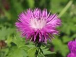 Flockenblume, Centaurea dealbata, Topfware