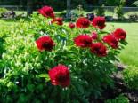Frühblühende Pfingstrose 'Red Charme', Paeonia x hybrida 'Red Charme', Topfware