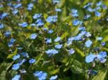 Frühlings-Gedenkemein, Omphalodes verna, Topfware