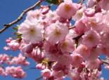Frühlingskirsche Zierkirsche