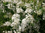 Frühlingsspiere / Feinlaubige Strauchspiere, 40-60 cm, Spiraea thunbergii, Wurzelware