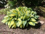 Hosta x cultorum 'Orange Marmalade'