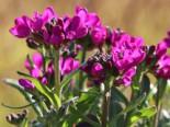 Gänsekresse 'Rose Delight' ®, Arabis blepharophylla 'Rose Delight' ®, Topfware