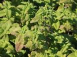 Gamander 'Purple Tails', Teucrium hyrcanicum 'Purple Tails', Topfware