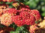 Schafgarbe 'Summer Fruits Carmine', Achillea millefolium 'Summer Fruits Carmine', Containerware