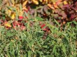 Gartenbambus 'Leasch' ® (S), 100-125 cm, Fargesia murieliae 'Leasch' ® (S), Containerware