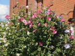 Garteneibisch 'Tricolor', Stamm 70-80 cm, 100-140 cm, Hibiscus syringa 'Tricolor' - 3 verschiedene Blüten, Stämmchen