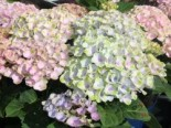 Ballhortensie 'Magical Revolution', 20-30 cm, Hydrangea macrophylla 'Magical Revolution', Containerware