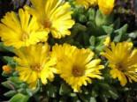 Gedrängte Mittagsblume, Delosperma congestum, Topfware