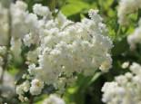Gefülltblühende Rüsterstaude 'Plena', Filipendula vulgaris 'Plena', Topfware