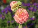 Gefülltblühende Stockrose 'Pleniflora Chaters Apricot', Alcea rosea 'Pleniflora Chaters Apricot', Topfware
