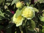 Gefülltblühende Stockrose 'Pleniflora' (Gelb), Alcea rosea 'Pleniflora' (Gelb), Topfware