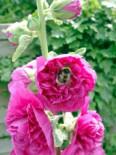 Gefülltblühende Stockrose violett, Alcea rosea 'Pleniflora', violett, Topfware