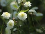 Gefülltblühender Hahnenfuß 'Pleniflorus', Ranunculus aconitifolius 'Pleniflorus', Topfware
