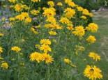 Gefülltblühender Sonnenhut 'Goldquelle', Rudbeckia laciniata 'Goldquelle', Topfware