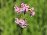 Gefülltblühendes Seifenkraut 'Rosea Plena', Saponaria officinalis 'Rosea Plena', Topfware