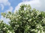 Gefüllter Schneeball / Echter Schneeball 'Roseum', 60-100 cm, Viburnum opulus 'Roseum', Containerware