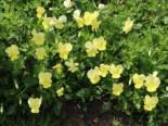 Gehörntes Stiefmütterchen 'Beshlie', Viola cornuta 'Beshlie', Topfware