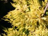 Gelbe Baumzypresse Castlewellan Gold