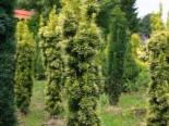 Gelbe Säuleneibe 'Fastigiata Aureomarginata', 30-40 cm, Taxus baccata 'Fastigiata Aureomarginata', Containerware