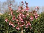 Geschlitzte Kirsche 'Paean', Stamm 50 cm, Prunus incisa 'Paean', Stämmchen