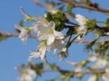 Geschlitzte Kirsche 'Yamadei', Stamm 40-50 cm, 60-80 cm, Prunus incisa 'Yamadei', Stämmchen