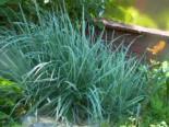 Gestreifter Bulben-Glatthafer 'Variegatum', Arrhenatherum elatius subsp. bulbosum 'Variegatum', Containerware