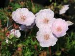 Gestreifter Storchschnabel, Geranium sanguineum var. striatum, Topfware