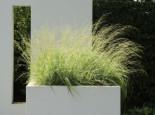 Gestreiftes Moor Pfeifengras 'Variegata', Molinia caerulea 'Variegata', Topfware