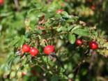 Glanz-Apfelrose / Niedrige Strandrose / Böschungsrose, 30-40 cm, Rosa rugotida, Wurzelware