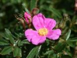 Glanzblättrige Rose, 15-30 cm, Rosa nitida, Topfware