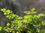 Glatte Petersilie, Petroselinum hortensis, Topfware